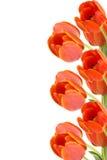 Bordo del tulipano Fotografie Stock