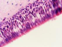 Bordo dell'epitelio ciliato 400x della cellula con le ciglia fotografie stock libere da diritti