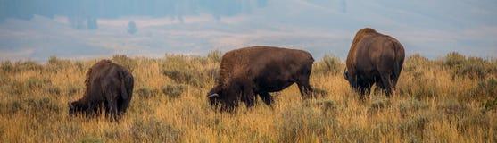 Bordo della strada Bison Yellowstone National Park Immagine Stock