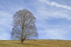 Bordo do sicômoro em um prado da montanha Imagens de Stock