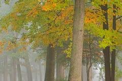 Bordo e carvalhos do outono Imagem de Stock