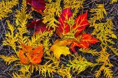 Bordo e Cedar Leaves Fotos de Stock