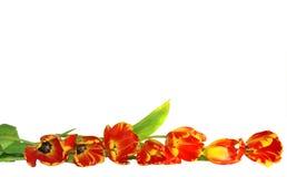 Bordo fresco dei tulipani Fotografia Stock Libera da Diritti