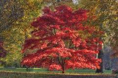 Bordo japonês - palmatum de Acer foto de stock royalty free