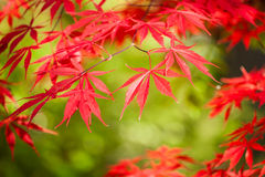 Bordo japonês vermelho Foto de Stock Royalty Free