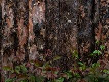 Bordo non finito del pino con le foglie verdi, il raccordo naturale del ceppo, il pino di Lodgepole, il pino, l'abete rosso o Asp Fotografia Stock