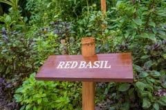 Bordo rosso dell'erba del basilico nel giardino Fotografia Stock Libera da Diritti