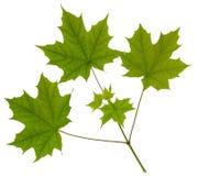 Bordo verde da folha Imagens de Stock Royalty Free