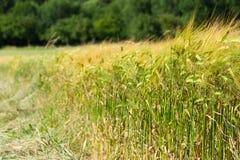 Bordo verde del campo di frumento fotografie stock