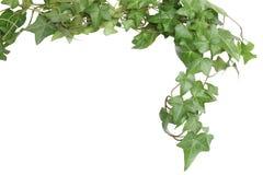 Bordo verde dell'edera Fotografia Stock Libera da Diritti