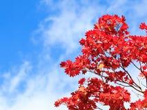 Bordo vermelho da folha com céu azul imagem de stock
