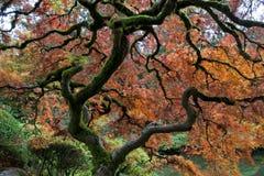 Bordo vermelho, jardim japonês Foto de Stock Royalty Free