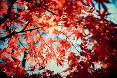 Bordos vermelhos no outono em Mt.Takao, Japão Imagens de Stock