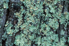 Bords 3 de lichen Photos stock