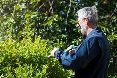 Bordure de haies de règlage de jardinier avec des ciseaux de jardinage Photos libres de droits