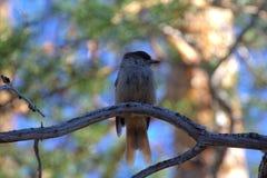 Boreal bird, the Siberian Jay Royalty Free Stock Photo