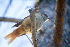 Boreal bird, the Siberian Jay Royalty Free Stock Photos