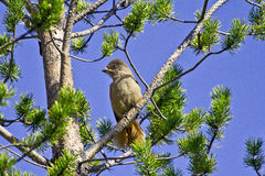 Boreal bird, the Siberian Jay Stock Images