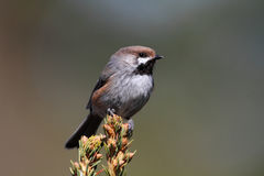 Boreal Chickadee Royalty Free Stock Images