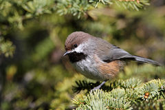 Boreal Chickadee Royalty Free Stock Image