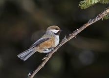 boreal chickadee Arkivbilder