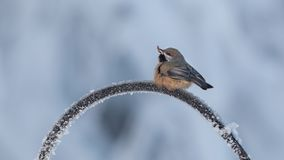 Boreal Chickadee in Alaska. The boreal chickadee is a small passerine bird in the tit family Paridae. It is found in the boreal forests of Canada and the royalty free stock photo