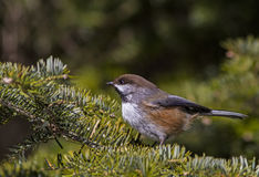 Boreal Chickadee Stock Photo