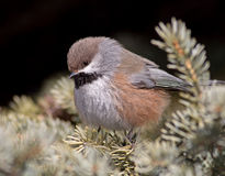 Boreal Chickadee Royalty Free Stock Photos