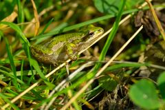 Boreal Chorus Frog. Sitting in the grass Royalty Free Stock Image