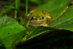 Boreal Chorus Frog. Sitting on a small green leaf Stock Photography