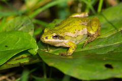 Boreal Chorus Frog. Sitting on a small green leaf Royalty Free Stock Image