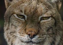 Boreal lynx royalty free stock photography