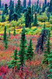 Boreal Forest. In autumn color Stock Photography