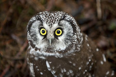 Boreal Owl Stock Photo