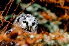Boreal owl Stock Photography