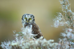 boreal owl Royaltyfri Bild
