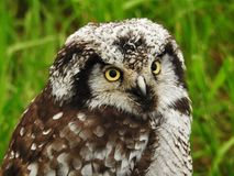 boreal owl Royaltyfria Bilder