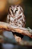 Boreal owl (Aegolius funereus) Royalty Free Stock Images