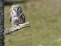 Boreal owl Aegolius funereus perched on a branch Royalty Free Stock Photos