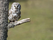 Boreal owl Aegolius funereus perched on a branch Stock Photos