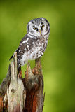 Boreal owl, Aegolius funereus, sitting on larch tree trunk with clear green forest background Royalty Free Stock Photo