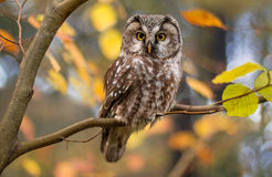 Boreal owl in autumn leaves Royalty Free Stock Image