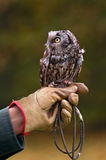 Boreal Owl on Handler's Fist Stock Photo