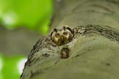 Boreal Owl Royalty Free Stock Photos