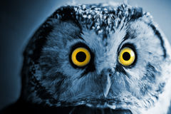 Boreal Owl Royalty Free Stock Images