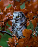 Boreal owl in the orange larch autumn tree Royalty Free Stock Images