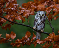 Boreal owl in the orange larch autumn tree Stock Photo
