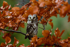 Boreal owl in the orange larch autumn tree Stock Images