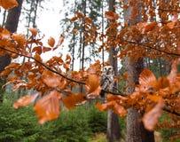 Boreal owl in the orange larch autumn tree Royalty Free Stock Photos