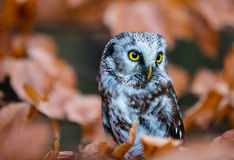 Boreal owl in the orange larch autumn tree Royalty Free Stock Image